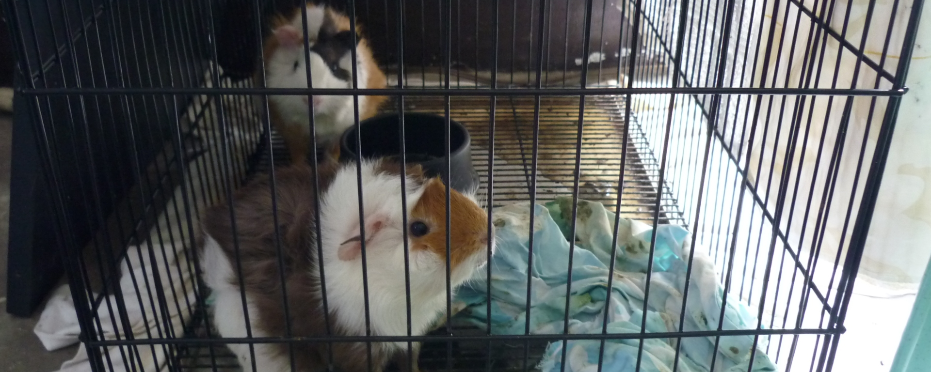Guinea Pig Cage Aireme S Collections